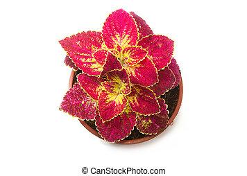 coleus colorful foliage, houseplant