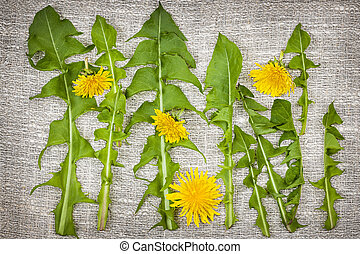 Dandelion greens and flowers - Arrangement of fresh...