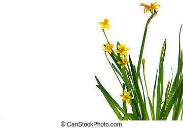 easter daffodil 1