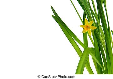 easter daffodil 3
