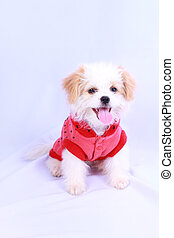 White poodle puppy wearing a red shirt. isolated on a white background .