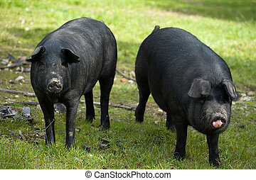 Two black mates - Black Iberian pigs on a meadow Extremadura...