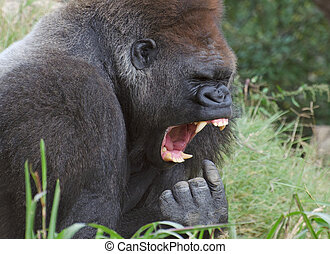 funny gorilla picture - funny picture of a gorilla who looks...