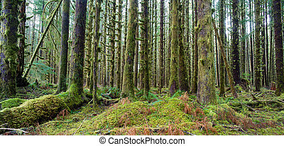 Cedar Trees Deep Forest Green Moss Covered Growth Hoh...