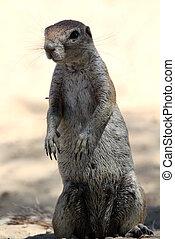 Ground squirrel - Standing Ground squirrel