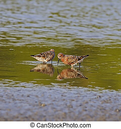 Curlew Sandpiper (Calidris ferruginea), in mating plumage
