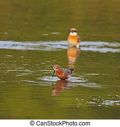 Curlew Sandpiper - Beautiful Curlew Sandpiper Calidris...