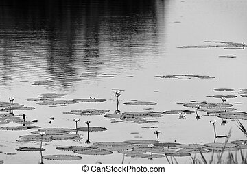 Lily Pads - Lily pads and flowers float on calm water. In...