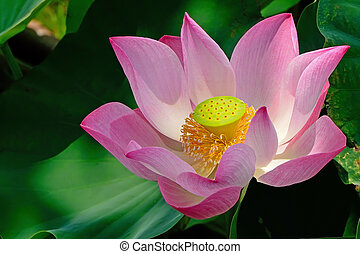 lotus - Beautiful pink lotus in the field