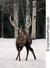 Deer on the snow. - Winter / The red deer (Cervus elaphus)...
