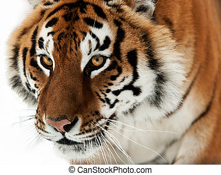 The Siberian tiger Panthera tigris altaica close up portrait...