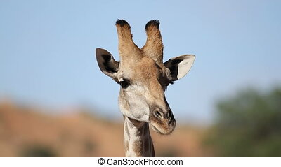 Giraffe portrait - Close-up portrait of a giraffe (Giraffa...