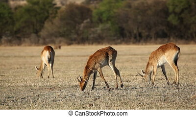 Red lechwe antelopes (Kobus leche) grazing in open...
