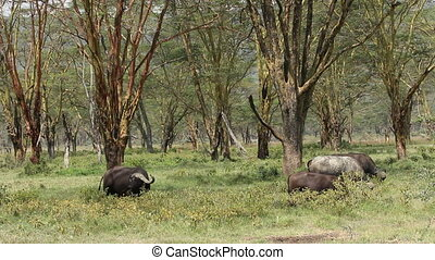 Grazing African buffaloes - African buffaloes (Syncerus...