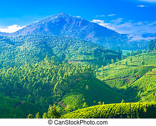 beautiful landscape of the tea plantations in India