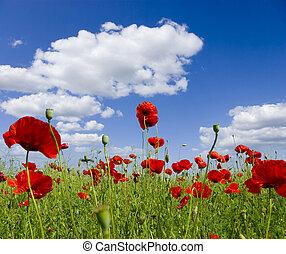 poppy red - Poppy flower in the sky