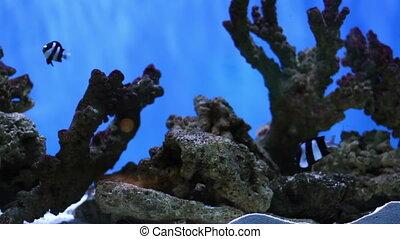 Small aquarium fish