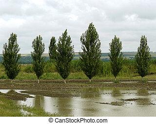 poplar windbreak - rural landscape with poplar windbreak...