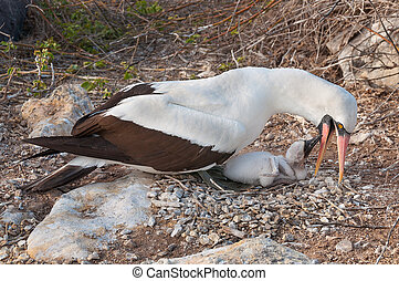 Galapagos Nazca booby feeding chick - Nasca booby feeding...
