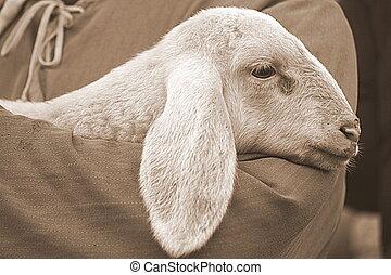 lamb with shepherd