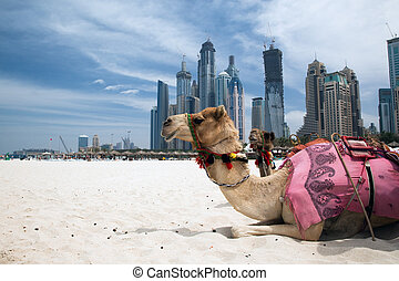 Camel. - Camel at the urban background of Dubai.