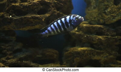 Aquarium Fish - Colorful aquarium fish. Clean environment...