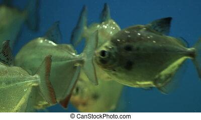 Piranhas in Aquarium - Colorful aquarium fish Clean...