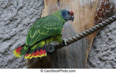 Czerwony-ogoniasty, amazonka, -, Amazona, brasiliensis