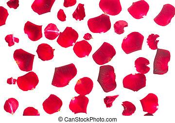 crimson  rose petals