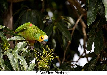 amazonka,  blue-fronted, papuga długoogonowa
