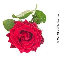 one crimson red rose