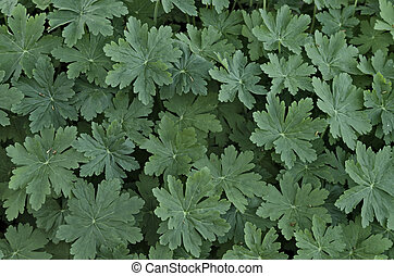 Background of geranium leaves - Beauty background of green...