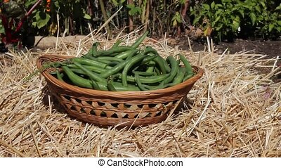 green beans - adding fresh green beans to a wicker basket in...