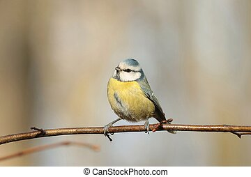Blue tit (Parus caeruleus) on a twig in the forest.