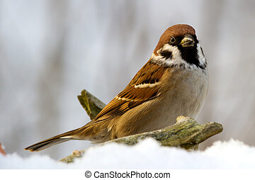 The Sparrow - The Eurasian tree sparrow (Passer montanus)....