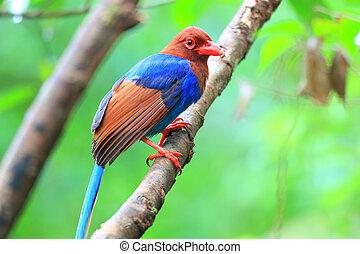 Sri Lanka or Ceylon Blue Magpie (Urocissa ornata) in Sri...