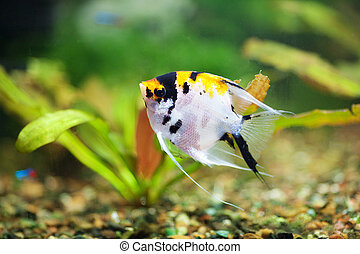 fish scalar in the planted aquarium