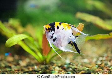 fish scalar in the planted aquarium