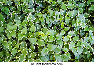 Vines Background - A green spreading vine like plant...