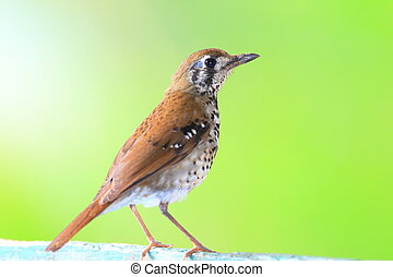 Spot-winged Thrush or Spot-winged Ground Thrush Geokichla...