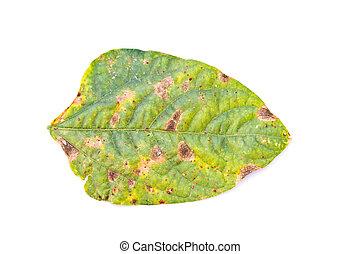 Diseased yard long bean leaves