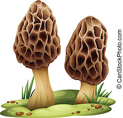 Morchella - Illustration of a morchella on a white...