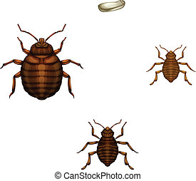 Bed bug life cycle - Illustration of the life cycle of a bed...