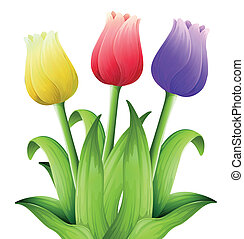 Tulips - Illustration showing the tulips