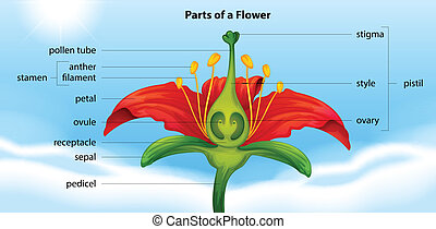 Parts of a flower - Illustration showing the anatomy of a...