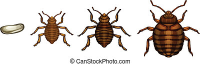 Bed bug life cycle - Cimex lectularius - Illustration of the...