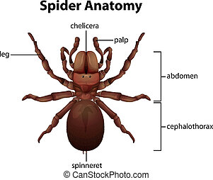 Spider anatomy - Illustration of a spider anatomy