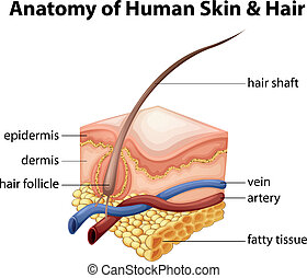 Anatomy of Human Skin and Hair - Illustration of the anatomy...