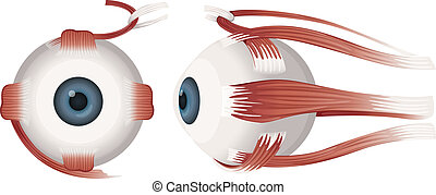 Human eye profiles - Illustration of a Human eye on a white...