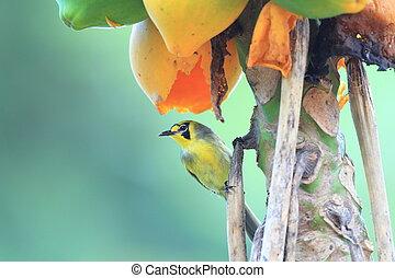 Bonin Honeyeater Apalopteron familiare in Ogsawara Island,...